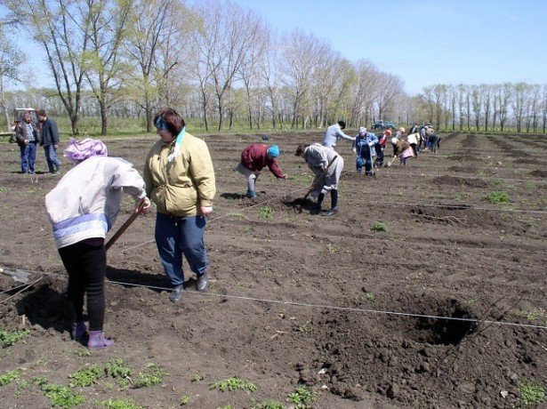 На фото подготовительные работы перед посадкой вишни