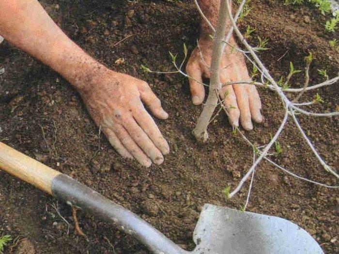 Можно ли осенью сажать саженцы деревьев 79