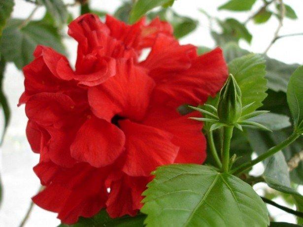 На фотографии китайская роза