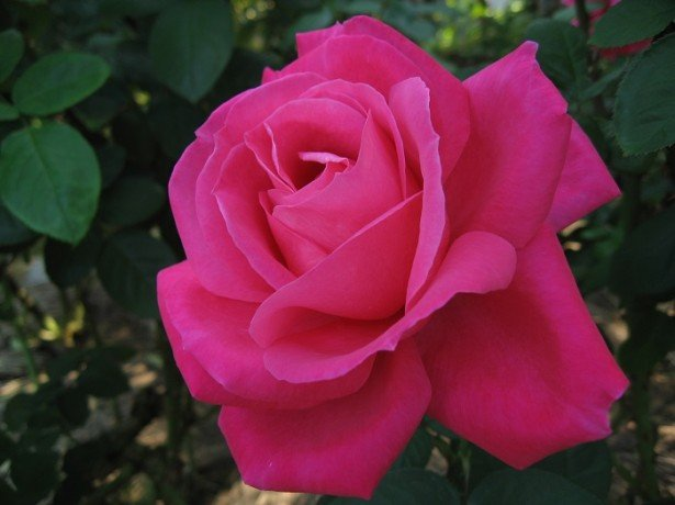 Фото чайно-гибридной розы