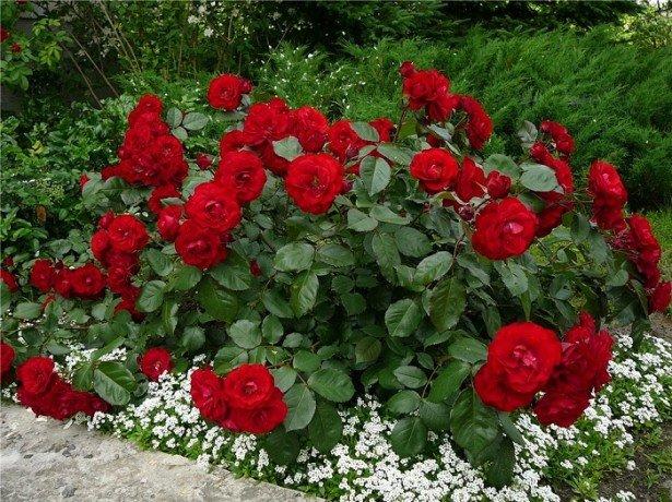 На фото полиантовые розы