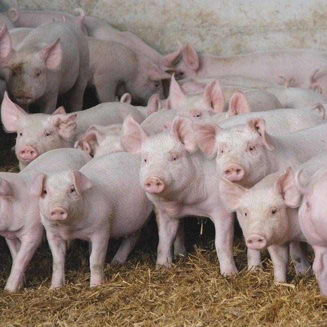 Породы свиней в домашних условиях