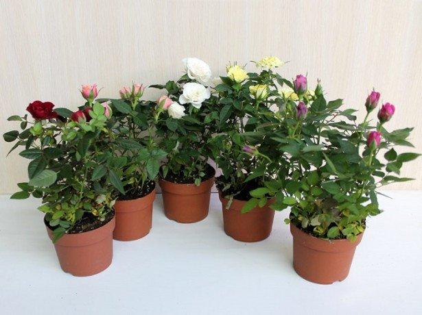 На фото домашние розы