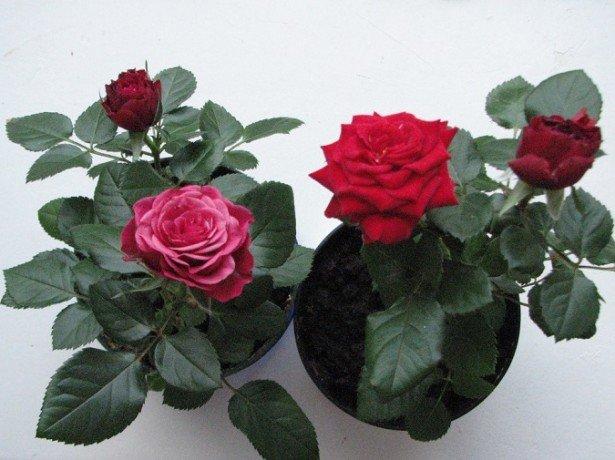 На фото комнатные розы