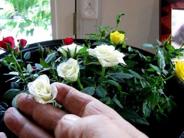 Как взять отросток у розы домашней