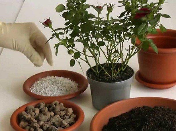 Фото пересадки домашней розы