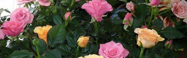 Роза комнатная – уход за розами в домашних условиях в течение года