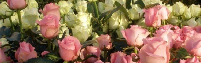 Розы на продажу – как выращивать розы, чтобы зарабатывать на них
