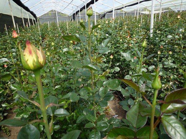 Фото роз в теплице