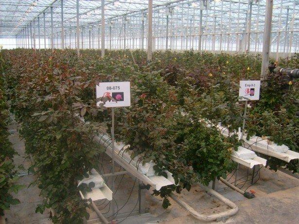 Фото выращивания роз в теплице