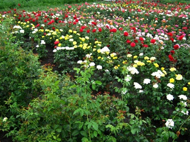 На фото розы в саду