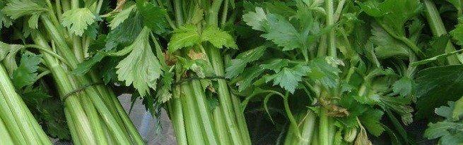 Сельдерей стеблевой и листовой – лучшие сорта для выращивания