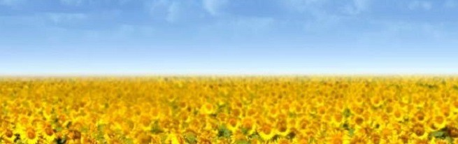 Технология выращивания подсолнечника – от обработки почвы до посева семян и ухода за подсолнухами