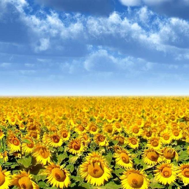 Технология выращивания подсолнечника - АгроБаза