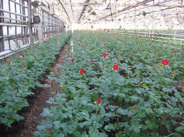 На фото розы в теплице
