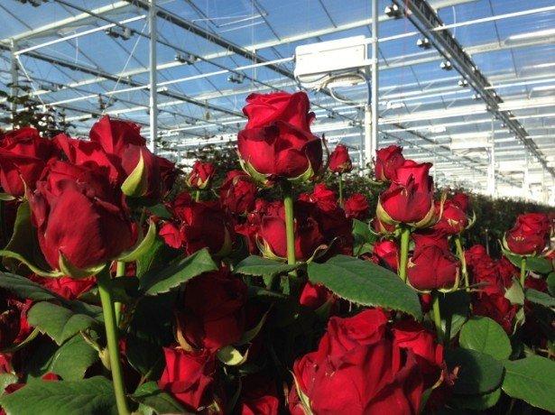 Фотография роз в теплице