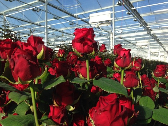 Выращивание розы на срезку в теплице 30