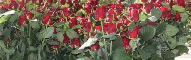 Выращивание роз в теплице круглый год – какие сорта выбрать, и как правильно их выращивать