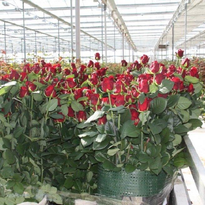 Выращивание розы на срезку в теплице 88