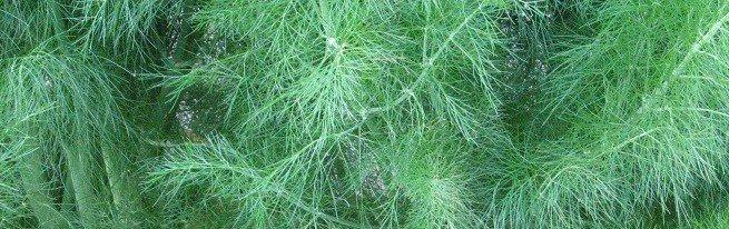 Выращивание укропа на продажу – может ли зелень укропа принести хороший доход?