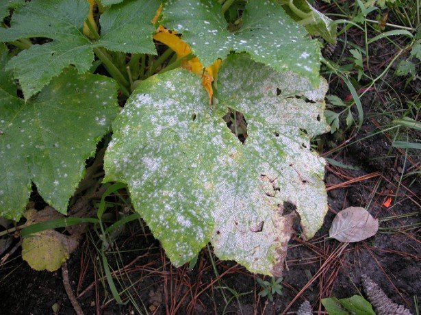 Фото серой гнили на листьях баклажана