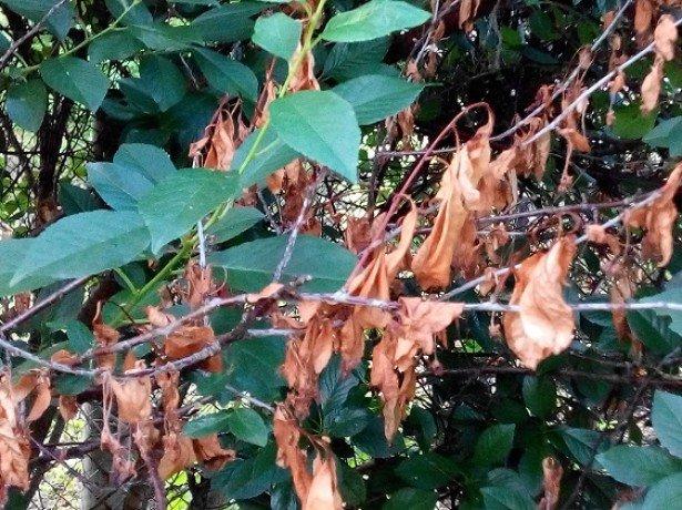 На фото монилиоз у вишни