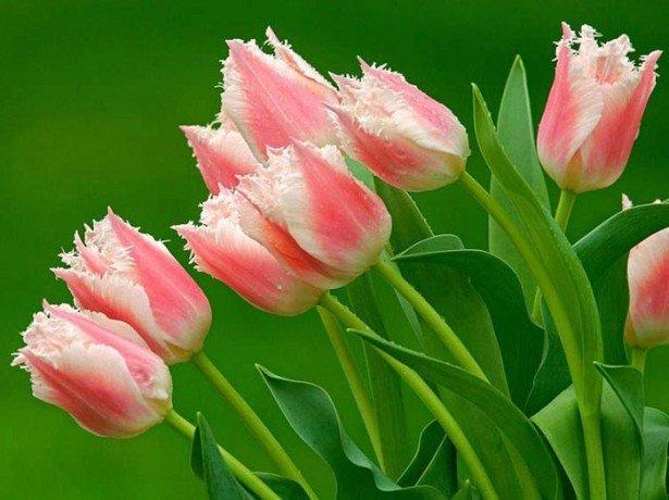 На фото розовые тюльпаны