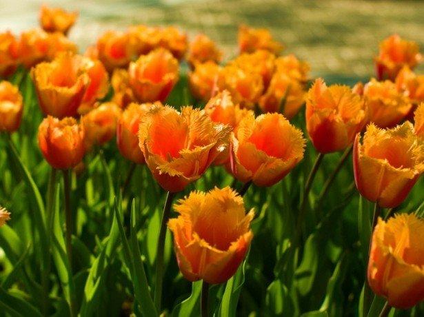 На фото оранжевые махровые тюльпаны