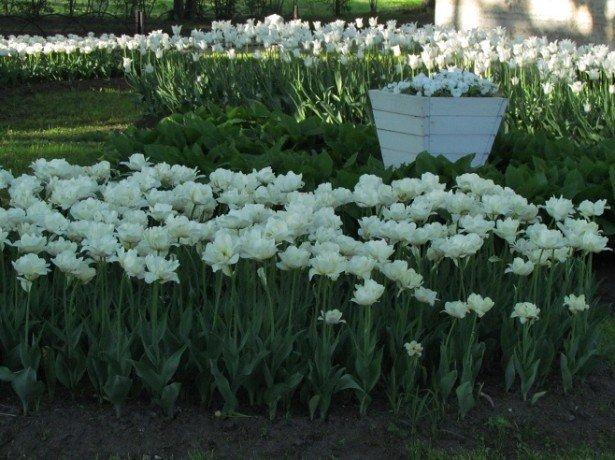 """Фото тюльпанов сорта """"Касабланка"""""""