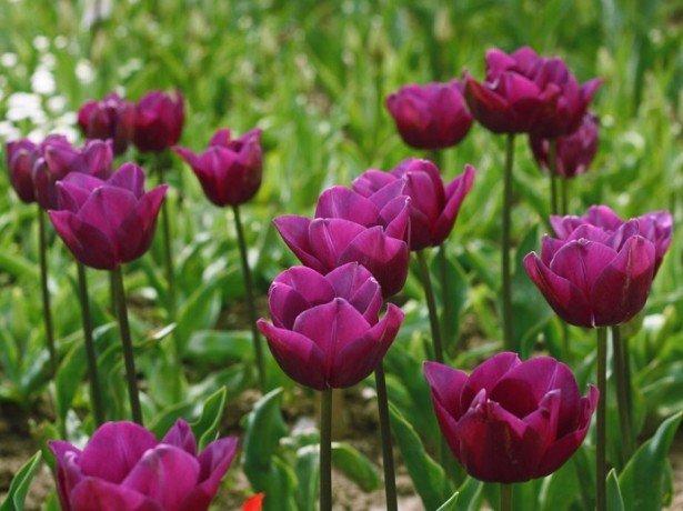 Фотография сиренево-фиолетовых тюльпанов