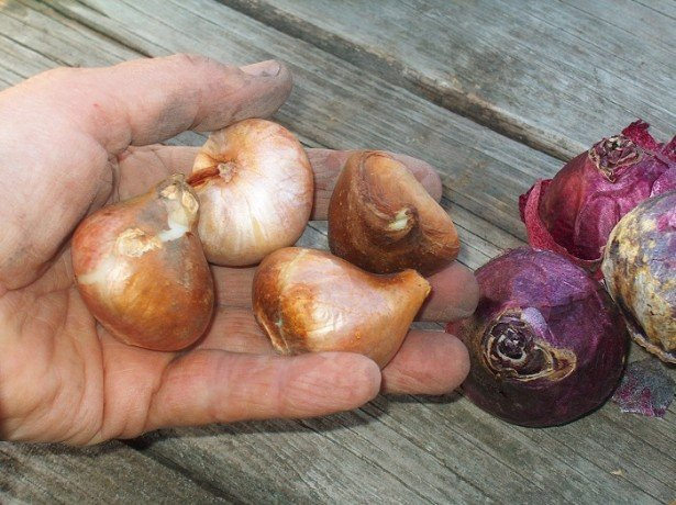 На фото луковицы тюльпанов