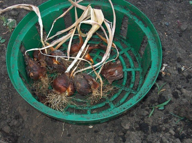 На фотографии луковицы тюльпанов