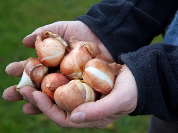 На фото луковицы тюльпана
