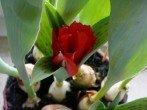 Весенняя клумба на балконе – как посадить тюльпаны в горшки