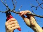 Обрезка вишни – как правильно работать с молодым и старым деревом