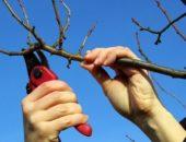На фото обрезка вишни