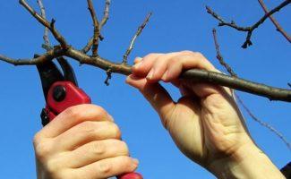 Обрезка вишни – как правильно обрезать молодую и старую вишню