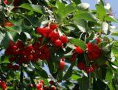 Фото вишни