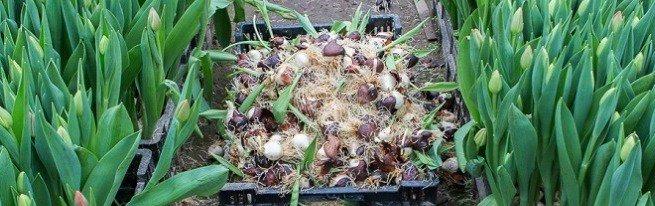 Тепличное выращивание тюльпанов, или как правильно сажать тюльпаны в условиях теплицы