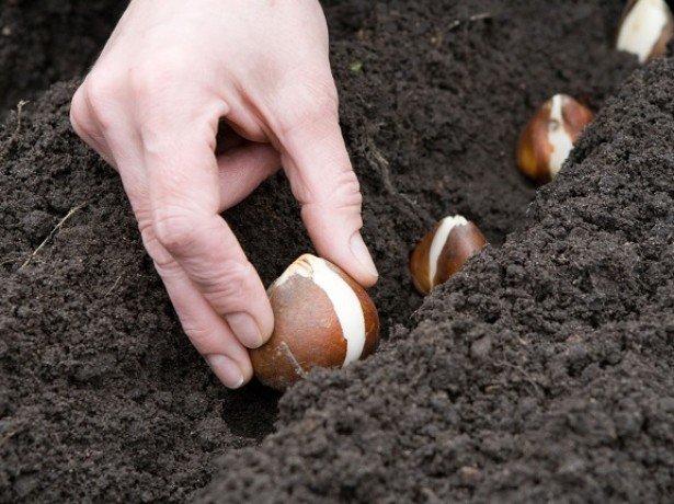 Фотография посадки луковиц тюльпанов