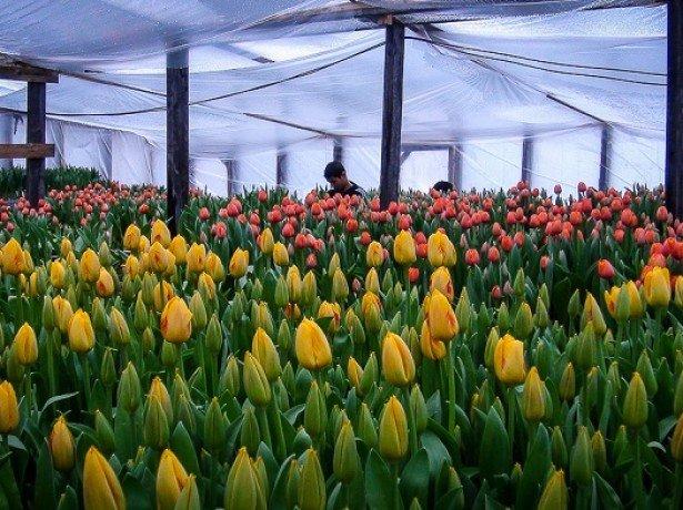 На фото тюльпаны в теплице