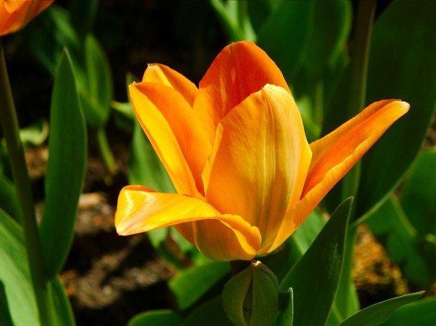 Фотография тюльпана