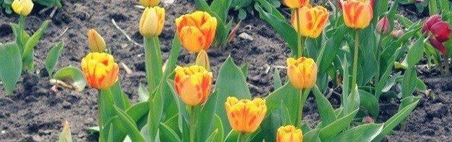 Как ухаживать за тюльпанами от первых ростков до увядающих цветков