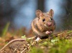 Как защитить тюльпаны от мышей: проверенные методы от опытных садоводов