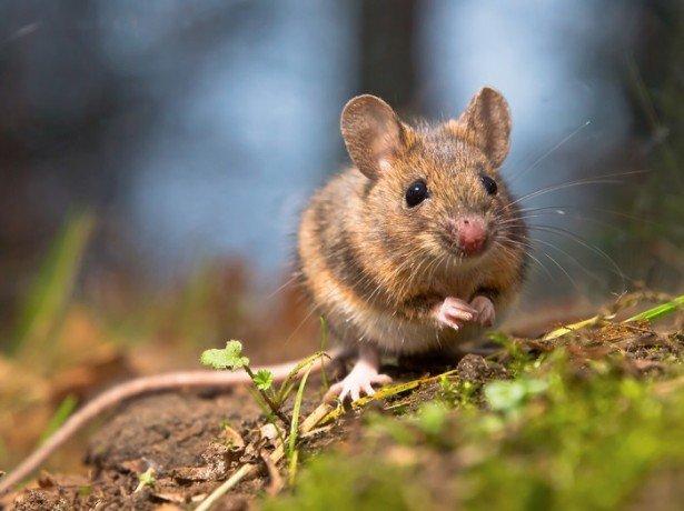 Фото мыши