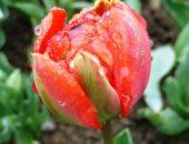 На фото тюльпан