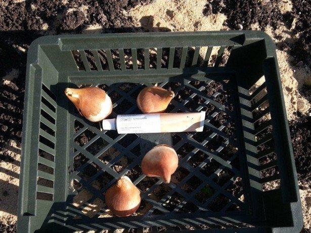 Фотография луковиц в корзине