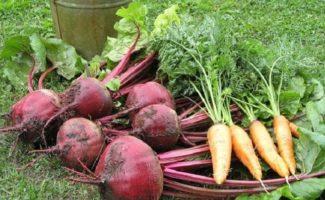 Когда копать свеклу и морковь, чтобы не ошибиться со сроками