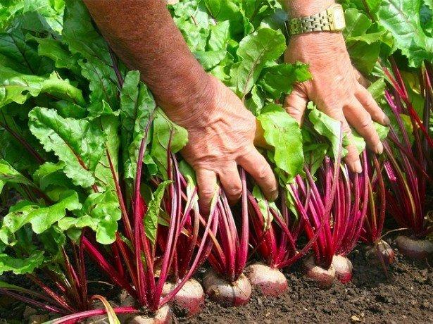 На фото сбор урожая свеклы