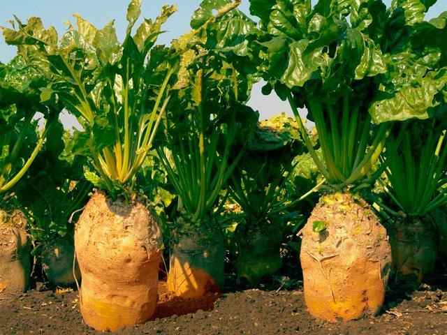 Кормовая свекла сорта рекомендуемые для выращивания 48